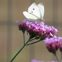 Insecten en bijvriendelijke tuin te Moerkerke